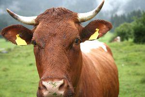 Die Kuh, das Horn und Rudolf Steiner