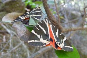 Schmetterlinge in Petaloudes auf Rhodos