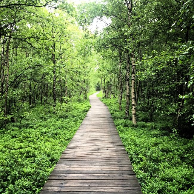 Durch den Karpaten-Birkenwald im Roten Moor