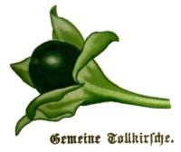 Belladonna oder Tollkirsche