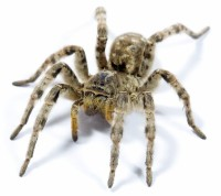 Tarantula - Spinnengift in der Homoeopathie